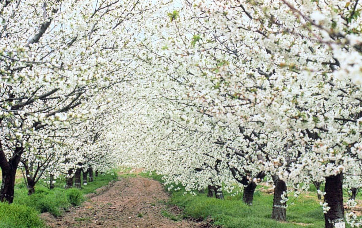 Primavera en Jerte.