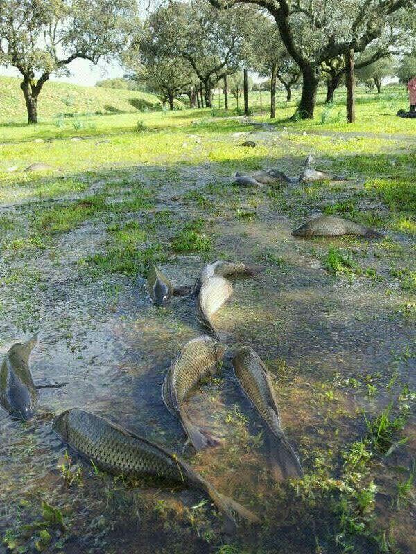 Carpas muertas tras la inundación del Guadiana en la cercanías de Villagonzalo.