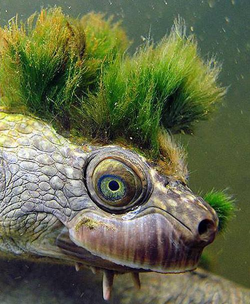 Tortuga del Río Mary (Elusor macrurus)